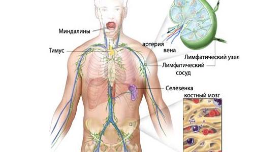 Расположение лимфатических узлов и сосудов