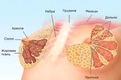 Анатомическое строение молочной железы