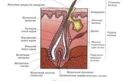 Структура кожи головы и волоса