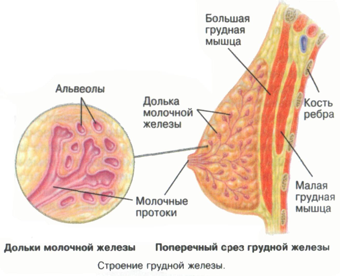 Типы женской груди фотографии 11 фотография
