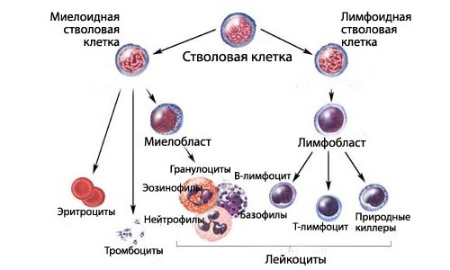 Схема образования дефектных стволовых клеток при волосатоклеточном лейкозе