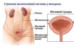 Строение мочеполовой системы у женщин
